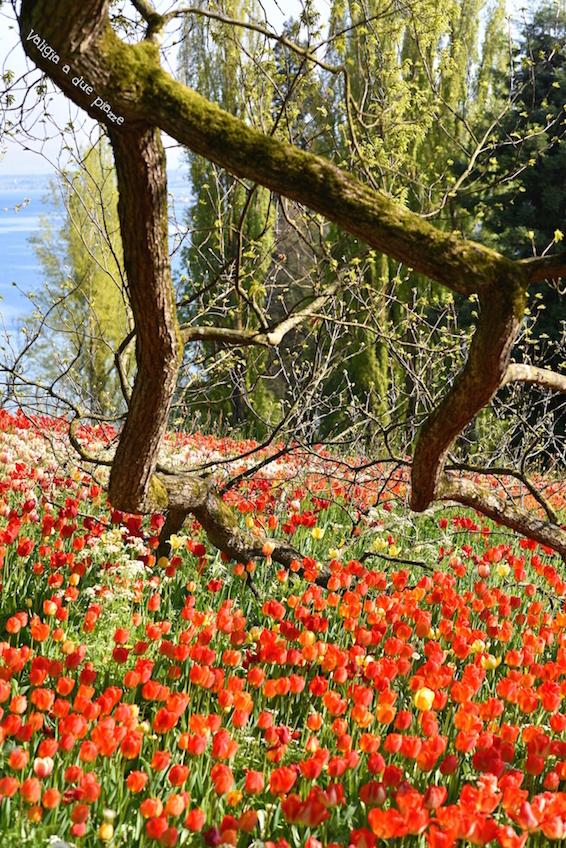 isola dei fiori Mainau tulipani