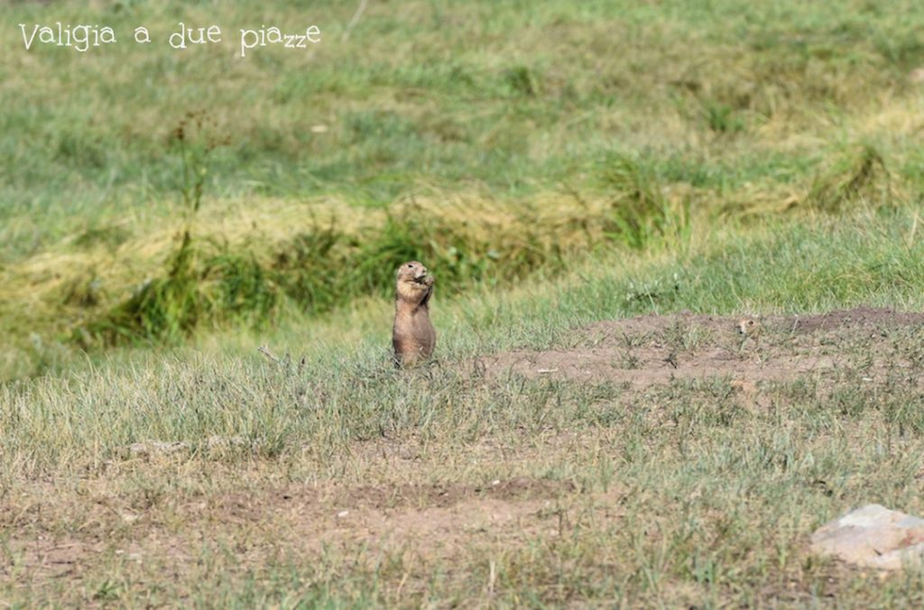 cane della prateria Wyoming