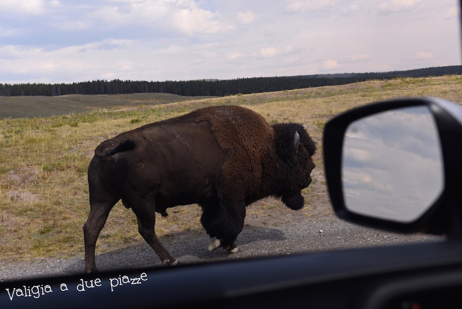 bisonte americano Yellowstone