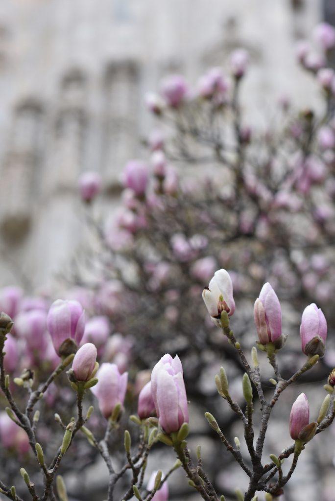La famosa magnolia alle spalle del Duomo di Milano
