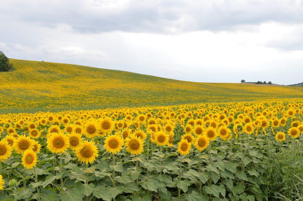girasoli Monferrato