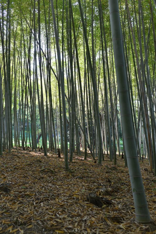 foresta bambù orto botanico roma