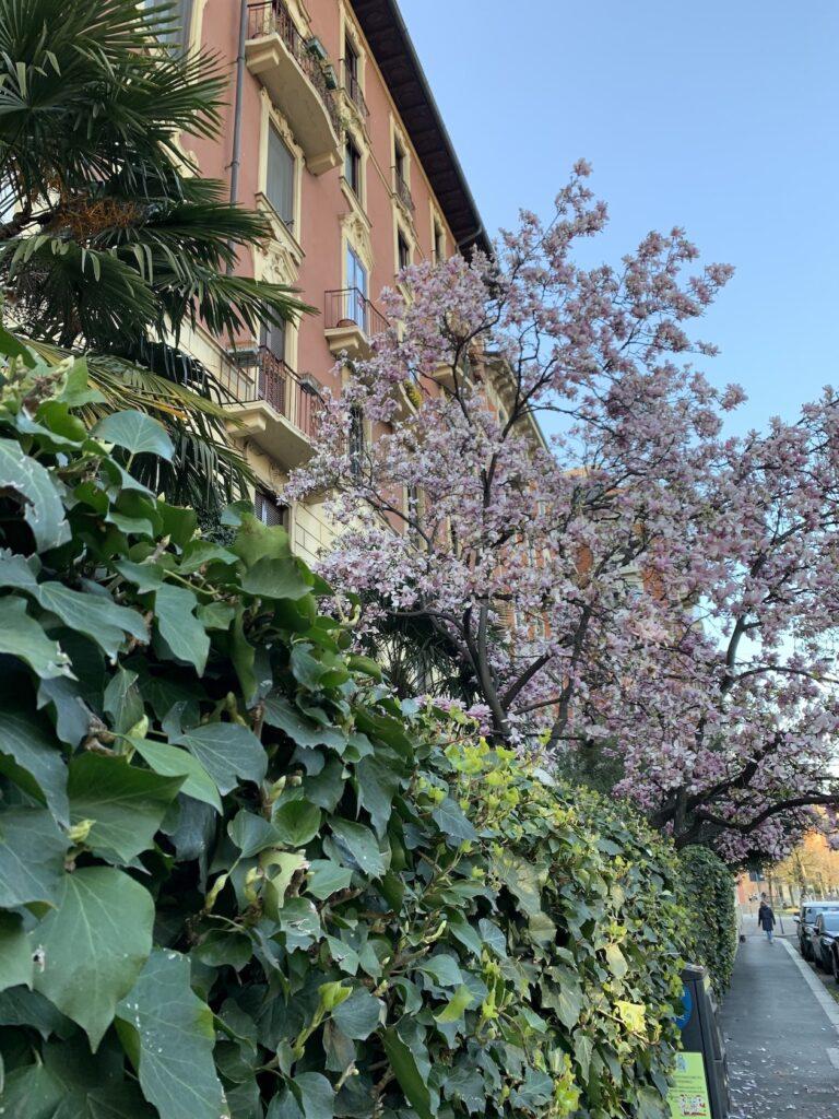 Via Bianca di Savoia Milano magnolie