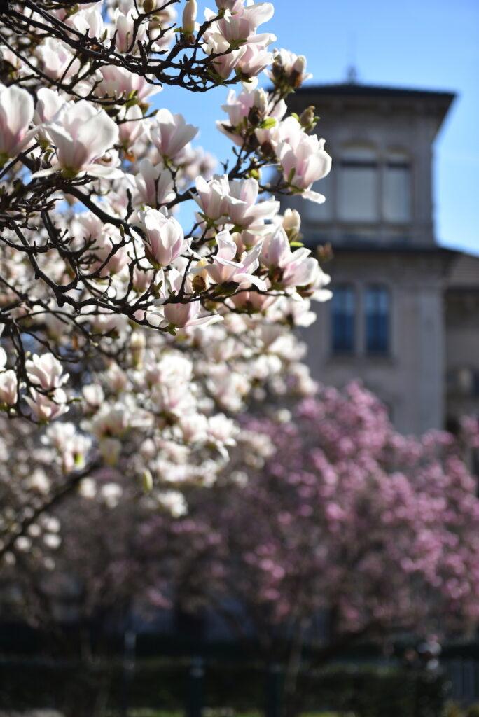 giardino Tebaldi piazza Tommaseo milano magnolie