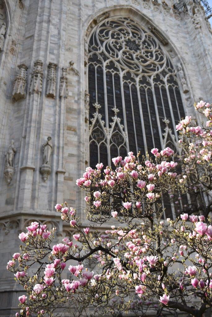 magnolia abside duomo milano