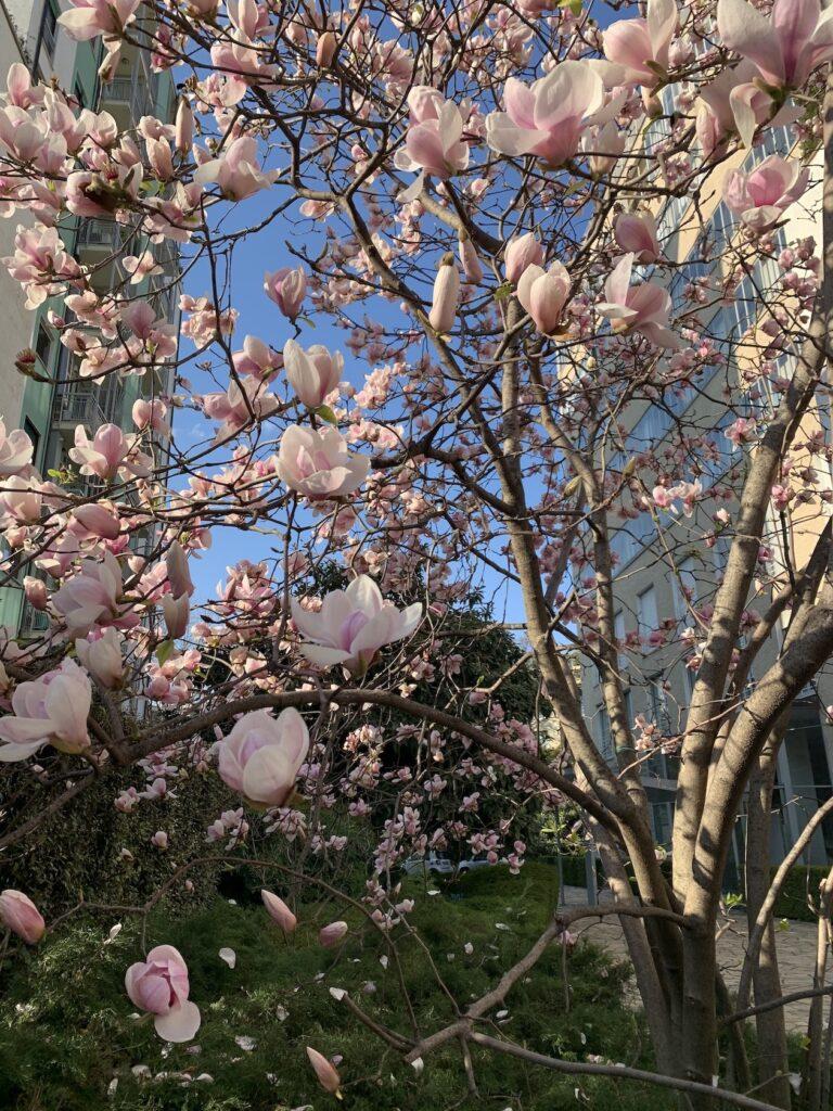 magnolia via lanzone milano