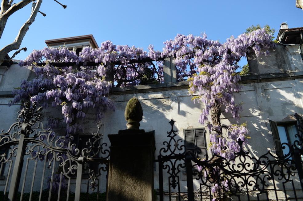 glicine via Santa Valeria Milano