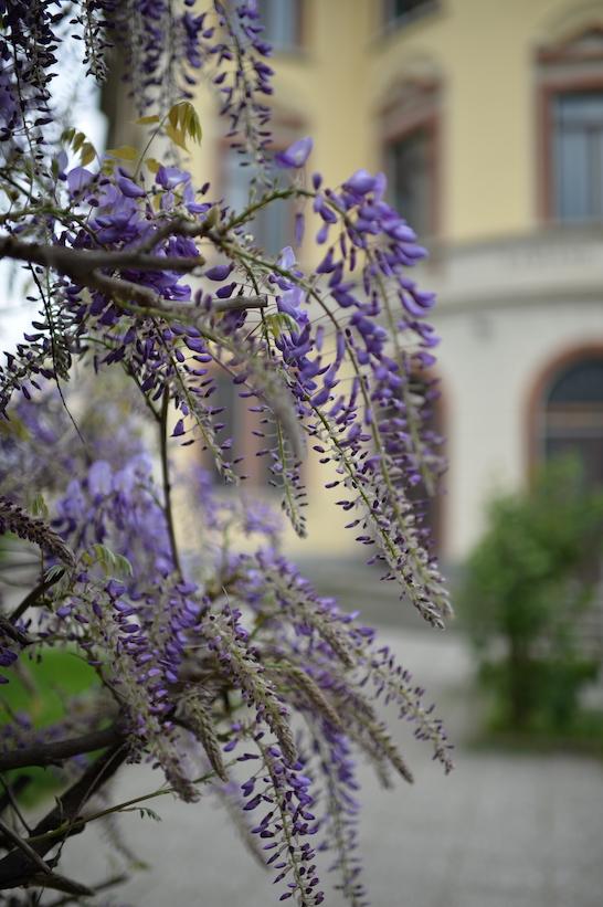 Damiano Chiesa glicine Milano