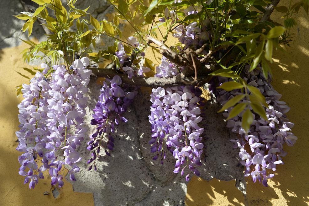 glicini in fiore Milano