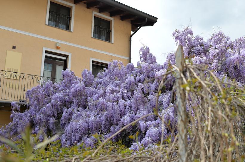 glicine di Leonardo Milano