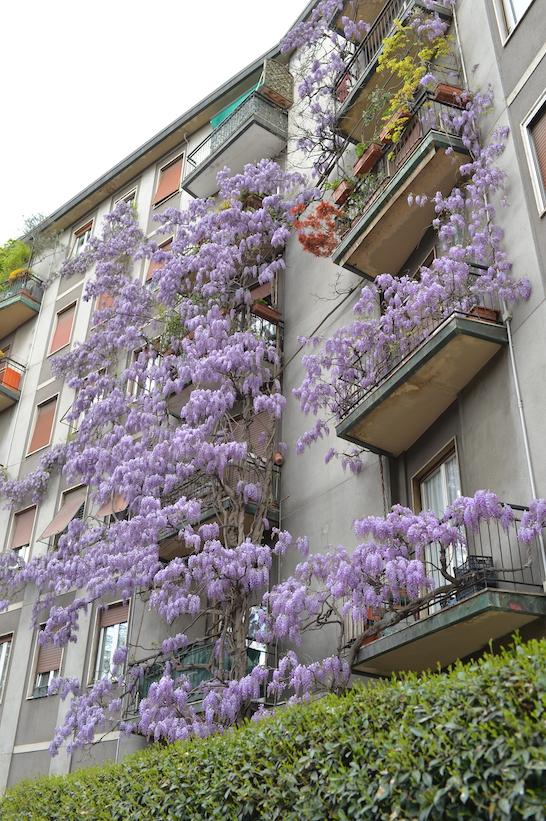 glicine Mezzofanti Milano