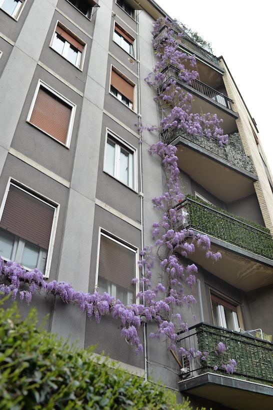 glicine via Mezzofanti Milano