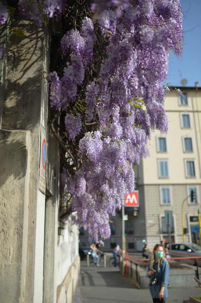 Glicine di Pagano Milano